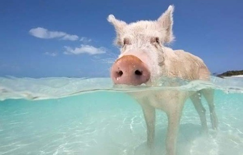 Pig Beach (also known as Pig Island, Major Cay, and officially Big ...