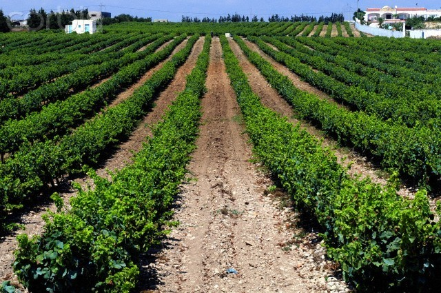 Tunisia. Vineyards and grapes of the vineyard of Kelibia in the region of the Cap Bon (Tunisia) --- Image by © Nicolas Fauqué/Nicolas Fauqué/Corbis