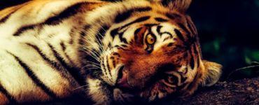 tiger wilflife