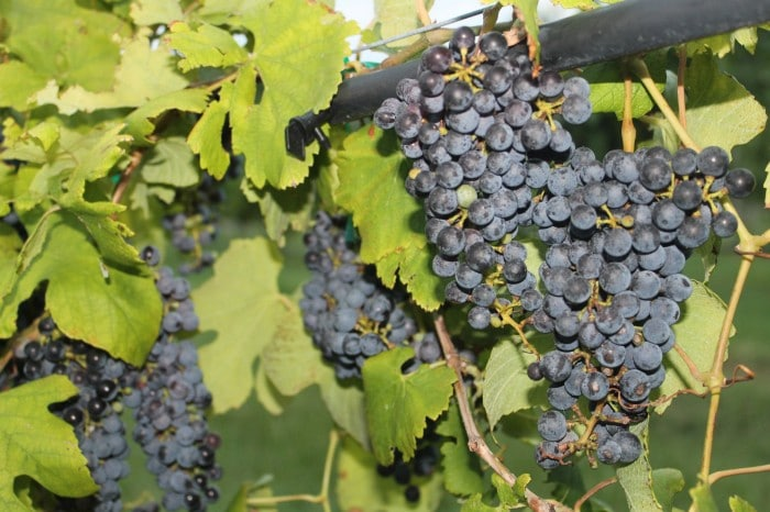 Wine Cruise Moldovan Wines