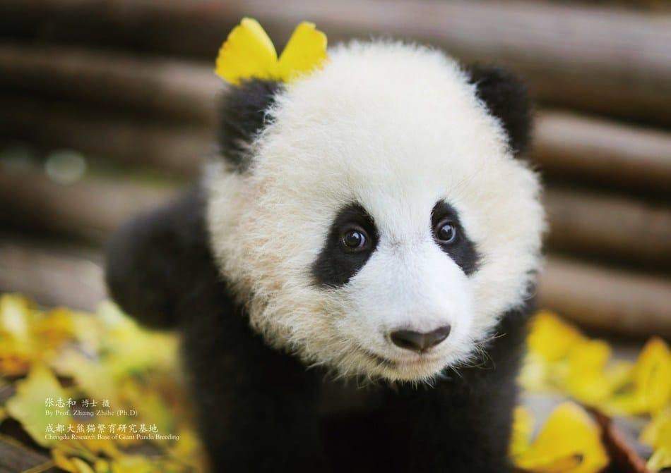 Panda Sichuan Airlines