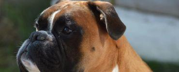 boxer Qantas dog