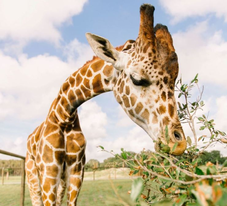 Wild Florida giraffe