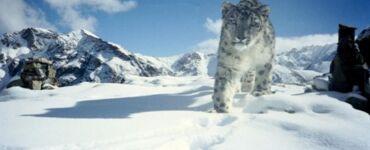 wild Snow Leopard in Hemis National Park