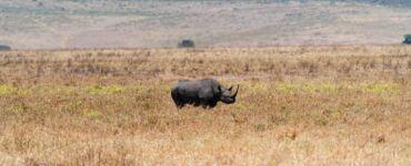 Black Rhino in Serengeti
