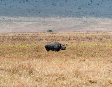 Black Rhino in Serengeti