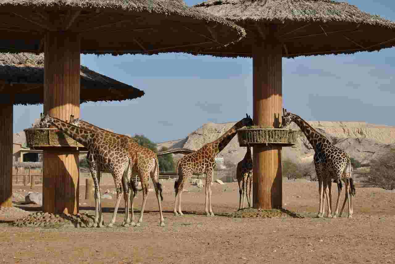 safari chad